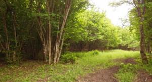 A hazelnut forest