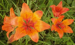 A group of lilies.