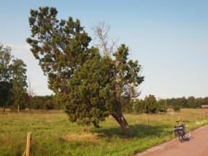 The biggest juniper I have seen.