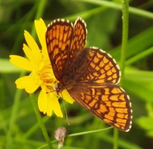 ...butterflies having a lunch break on a flower...